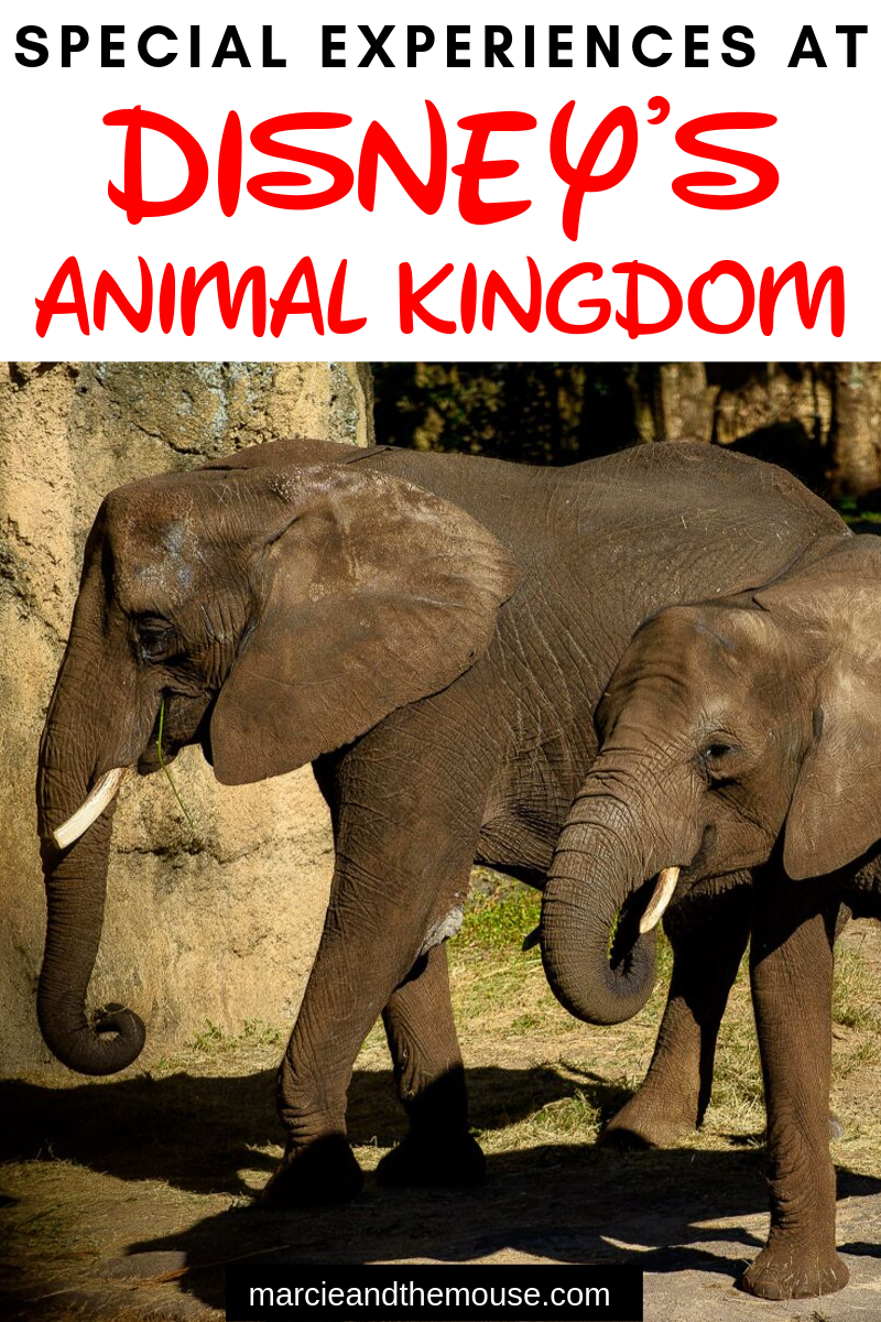 Top 5 Tips for Disney's Animal Kingdom Magic that Don't Cost Extra featured by top US Disney blogger, Marcie and the Mouse: Planning a trip to Disney's Animal Kingdom at Walt Disney World Resort? Find out the best tips for finding Animal Kingdom magic in this unique Disney park.
